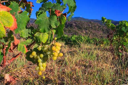 View of Zibibbo plants (Muscat of Alexandria ), white wine grape in Pantelleria