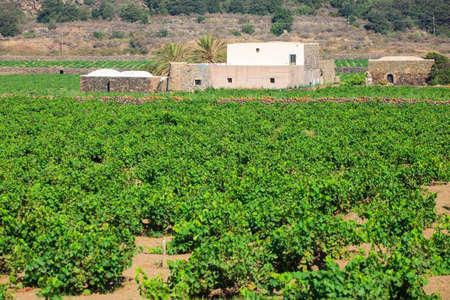 View of zibibbo Plantation in Pantelleria Stok Fotoğraf