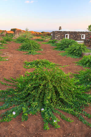 capers: View of Capers plant in Pantelleria, Sicily