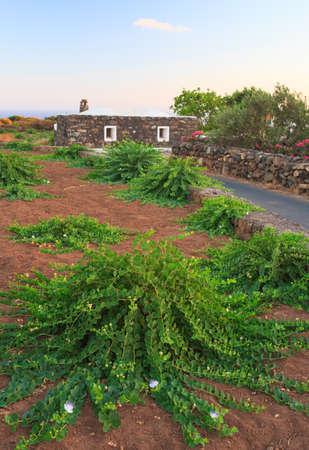 alcaparras: Vista de la planta de alcaparras en Pantelleria, Sicilia