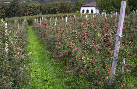 trentino: View of Trentino red apples cultivation, Italy