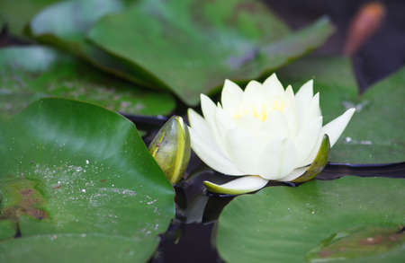 welfare plant: View of white waterlily and leaves on pond Stock Photo