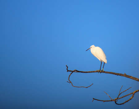 The Little Egret (Egretta garzetta), small white heron on tree photo