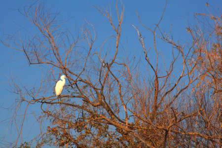 The Little Egret (Egretta garzetta), small white heron on tree Stock Photo