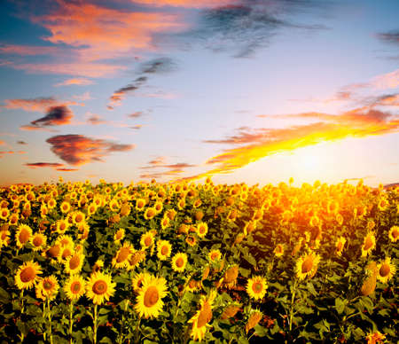 sunflowers field photo