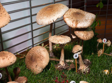 basidiomycete: Close up of parasol mushroom - basidiomycete fungus