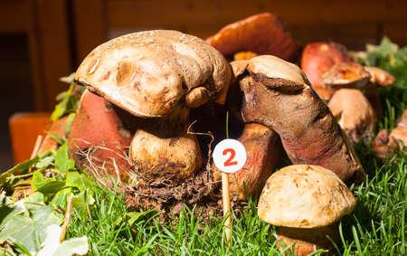 agaricus: Close up of the mushroom Agaricus essettei Stock Photo