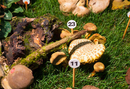 agaricus: Close up of the mushroom Agaricus porphyrizon