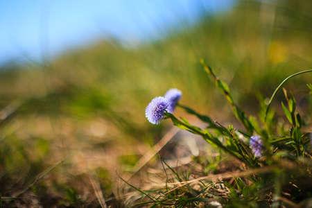 genera: Globularia Cordifolia L. flowers in the countryside Stock Photo