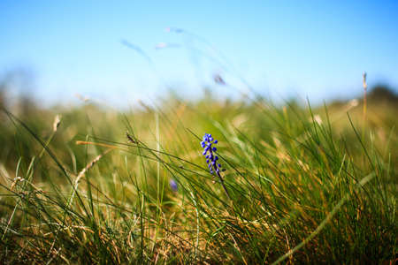 genera: Flower Muscari neglectum, perennial bulbous plant, one of a number of species and genera known as Grape Hyacinth and in particular Common Grape Hyacinth Stock Photo