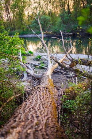 arboles secos: Vista de árboles muertos en el río Ticino, Italia Foto de archivo