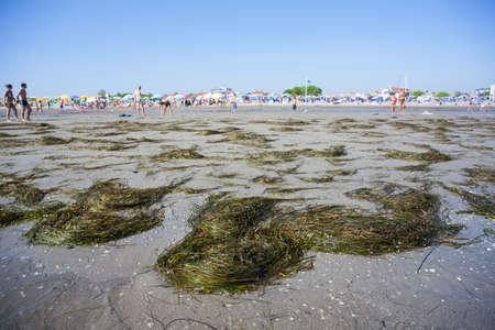 neptuno: Posidonia oceanica llamada posidonia o posidonia en la playa de Grado