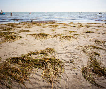 neptuno: Posidonia oceanica called Neptune Grass or Mediterranean tapeweed on the Grado beach