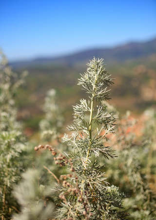 belonging: Artemisia belonging to the daisy family Asteraceae