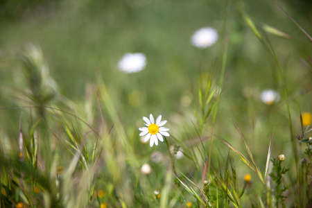 graft: Close up of little daisies on grass