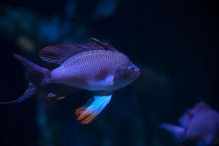 anthias: View of Swallowtail seaperch in the aquarium