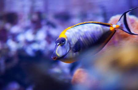 naso: View of Naso lituratus in the aquarium