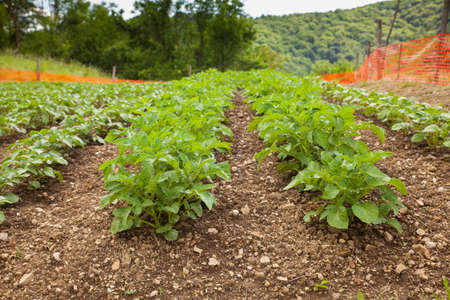 View of potato field in the Slovenian countryside Stock Photo