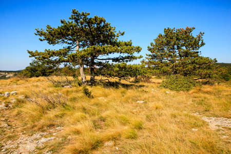black pine: View of black pine in the Stena mountain