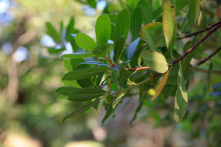 ericaceae: Arbutus unedo or strawberry tree is an evergreen shrub or small tree in the family Ericaceae Stock Photo
