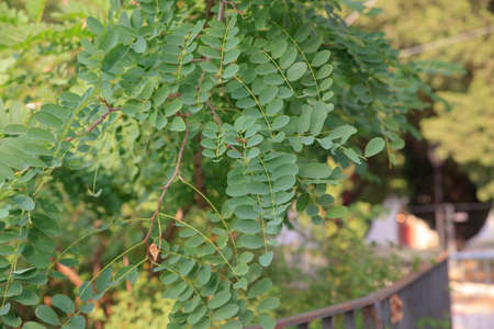faboideae: Leaves of Robinia,  a genus of flowering plants in the family Fabaceae, subfamily Faboideae