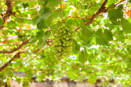ows: View of white grapes pergola in the spanish countryside Stock Photo