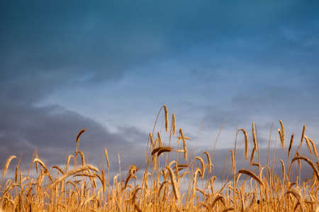 Ears of corn in the spanish field Stock Photo