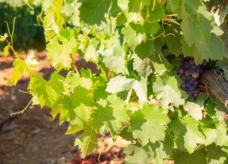 wine road: View of vineyards in the Spanish countryside, territory of Villafranca del Bierzo