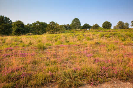way of st james: Heather flowers in the spanish countryside at sunrise Stock Photo