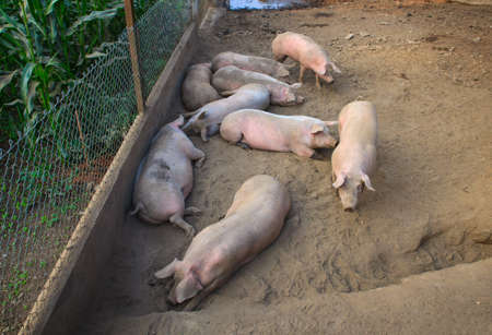 View of the domestic pigs in the pigpen