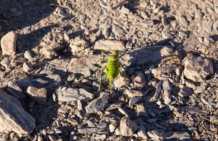 stone road: View of a Green cricket on stone road Stock Photo