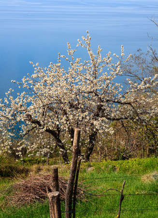 gean: View of wild cherry in Santa Croce countryside, Trieste Stock Photo