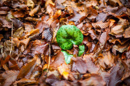 Cyclamen leaf in the middle of dried leaves of carpinus  写真素材