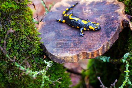 View of the fire salamander in its habitat
