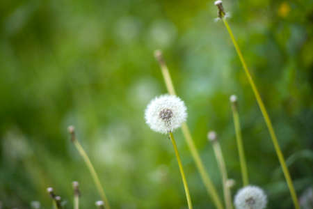 Close up of a dandelion on grass