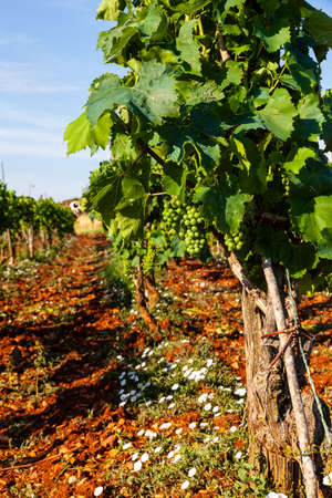 View of typical istrian vineyards in the red soil