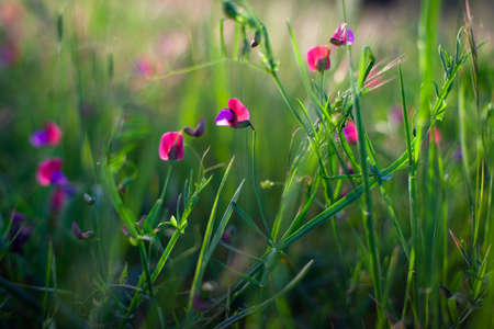 Flowers of wild pea in the spring season