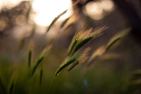 View of Poaceae or Gramineae plant at sunset