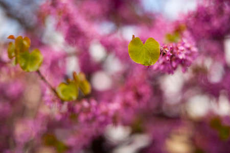 Close up of fuhsia flowers and leaves of Judas tree