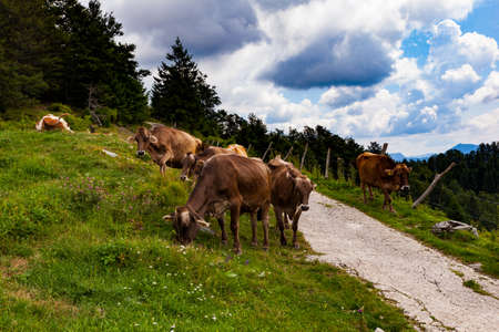 Cows grazing after the transhumance in the mountain hut called Planina Kuk, Tolmin. Slovenia