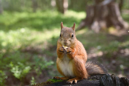 A squirrel in a park sits on a stump and eats a nut.