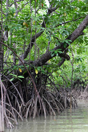 the roots of mangrove trees at the mouth of the river Imagens