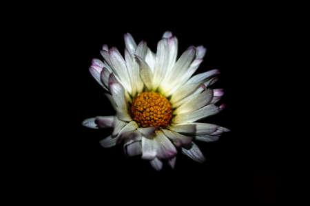 close p: Lonely margarita flower