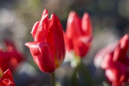 Tulips in bloom in the spring. 写真素材