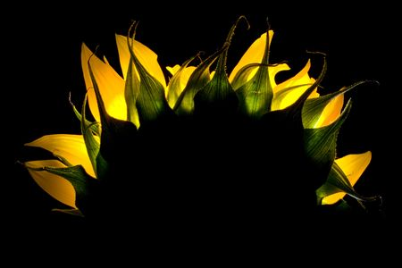 Shot of a sunflower, shot such that it looks like a sunrise.