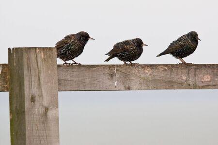 Three birds sitting on a fence on a farm near Salisbury, England.