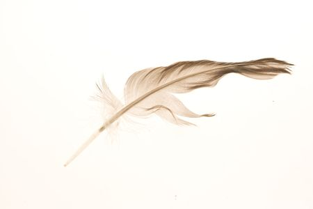 beachcombing: Stray feather isolated on a white background. Stock Photo