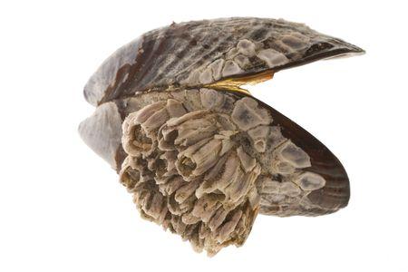 barnacles: Un mitili guscio, coperte di bianco LEPADI.