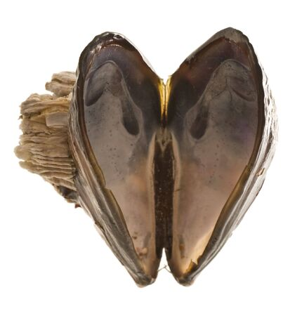 barnacles: An open mussel shell, opened in the shape of a heart.
