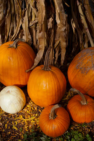 A group of pumpkins in front of dried corn stalks photo